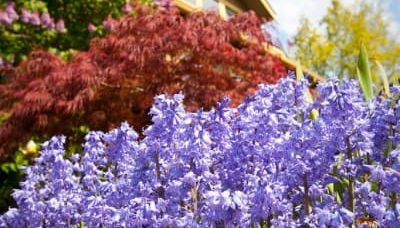 Purple and red flowers in front of the Greenlake Guest House are in full bloom